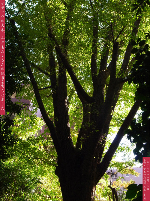イチョウ大木