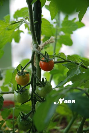 tomato20-1.jpg
