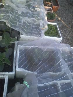 2-11茎ブロッコリー