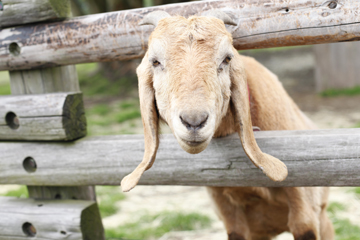 耳が長いヤギ