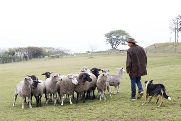 牧場犬と羊