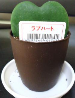 テレビ台植物 ●