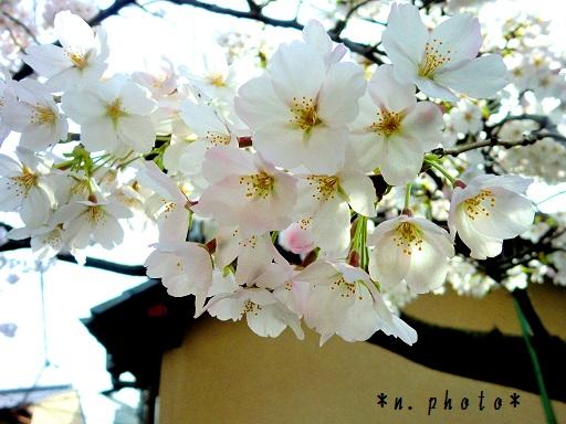 京都さくら (2)