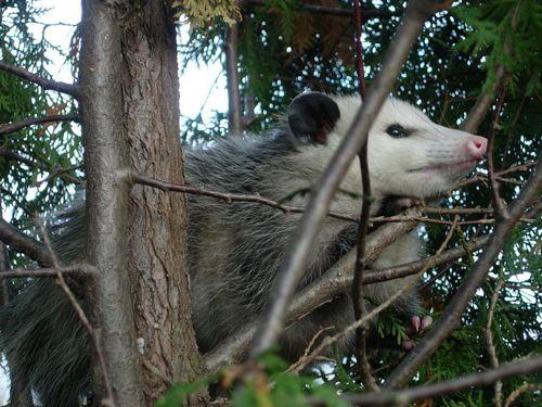 800px-Possum122708.jpg