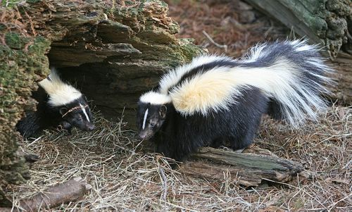 800px-Striped_Skunk.jpg