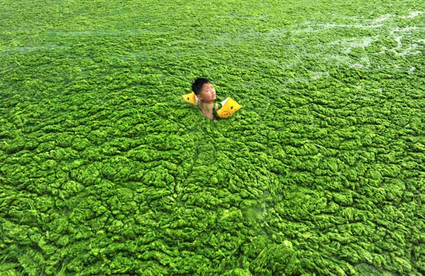 a-child-swims-in-algae-filled-coastline-of-qingdao-shandong-301624148.jpg