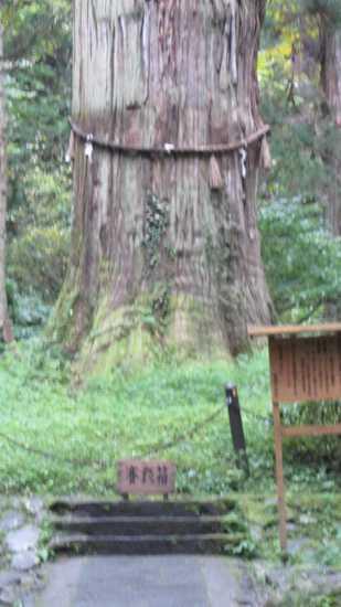 羽黒山爺杉 3