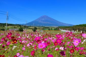 富士山とコスモス02
