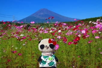 富士山とコスモスおばぶ