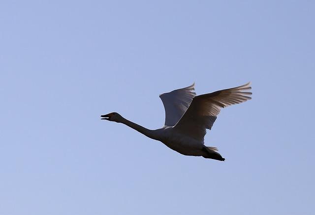 白鳥の飛翔 - コピー
