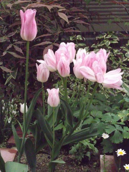 20130501枝咲きチューリップ