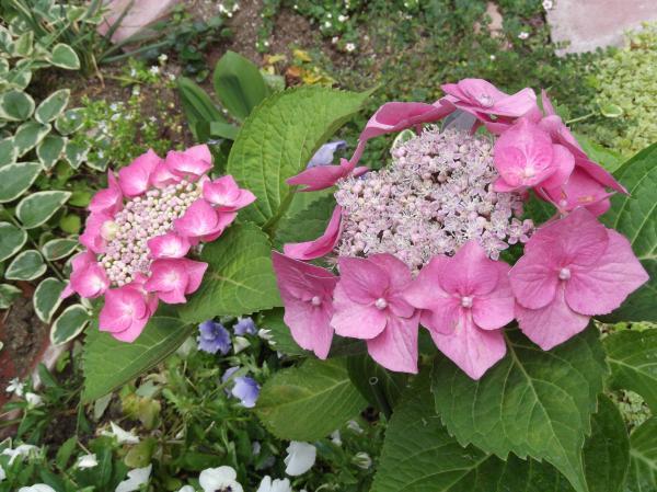 20130609紫陽花