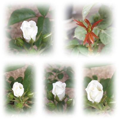 20130704薔薇