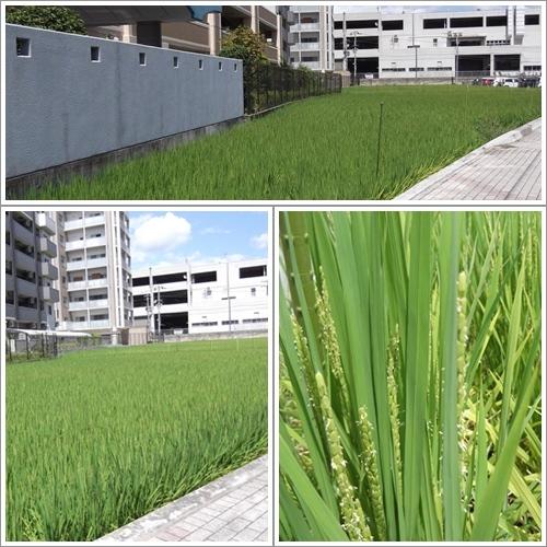 20130827稲