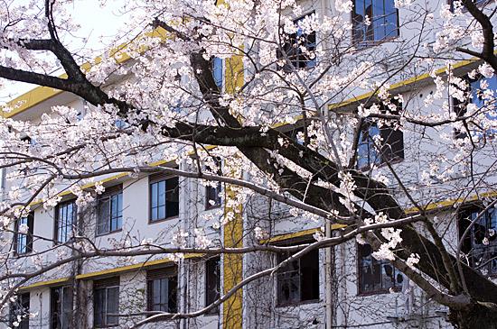 桜思い出-2