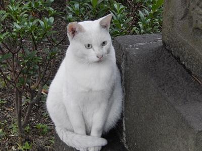 櫻岡大神宮猫2