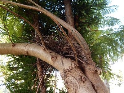 キジバト巣