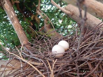 キジバト卵2つ