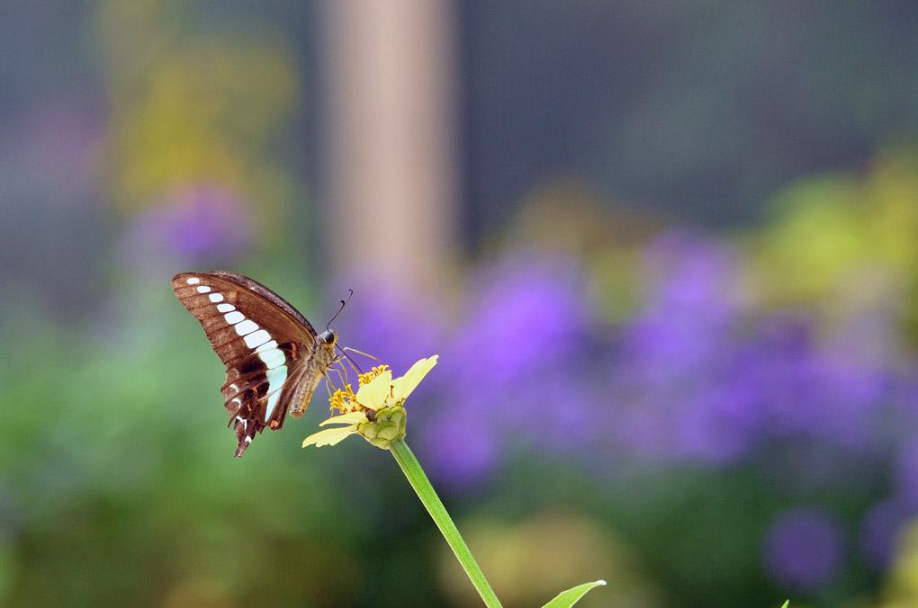 9)アオスジアゲハ 2014年10月4日 水元公園