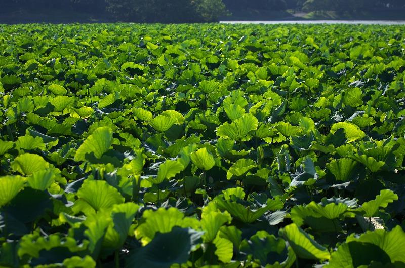 初夏の大泉緑地 蓮の葉
