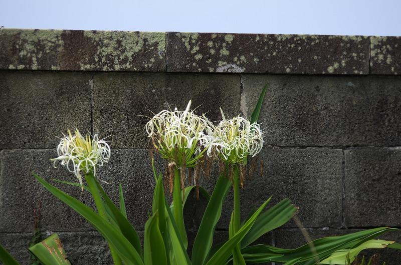 紀伊大島 白い花