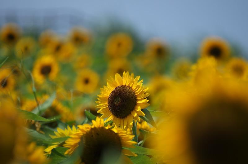 あわじ花さじき 夏 向日葵