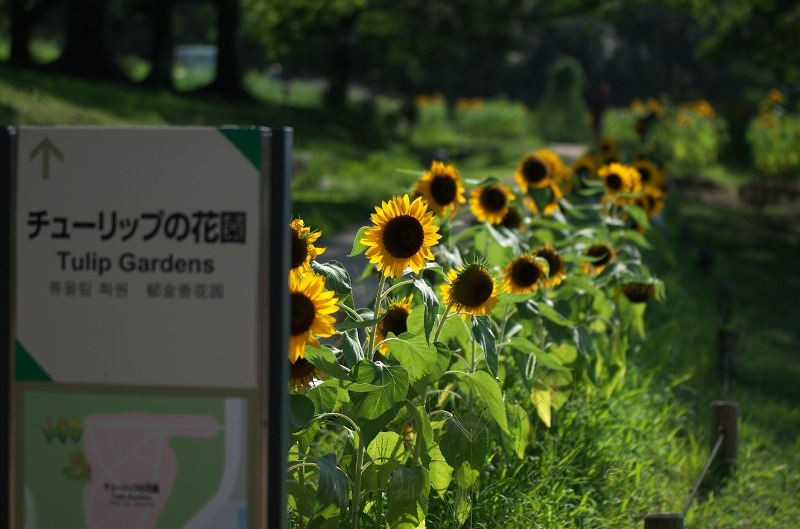 万博公園ひまわりフェスタ2013