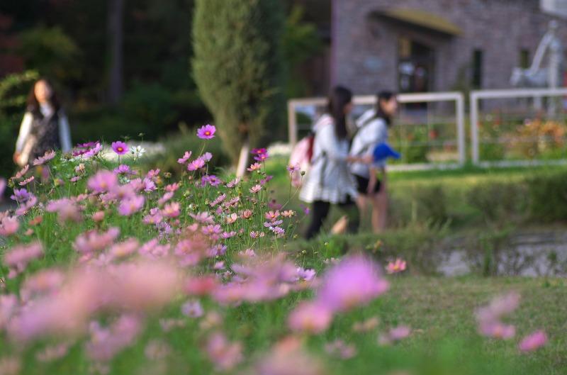服部緑地公園 秋 コスモス