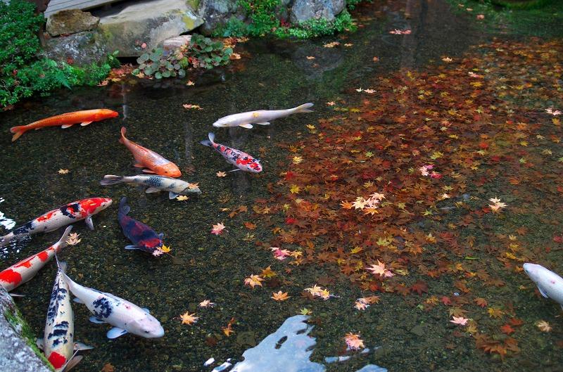京都大原 寂光院 紅葉 鯉