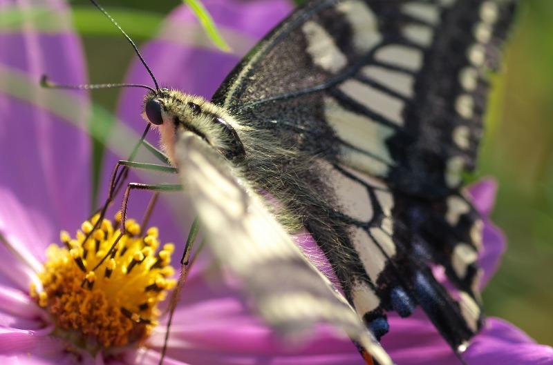 彼岸花にアゲハ蝶