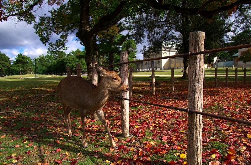奈良公園 紅葉 鹿