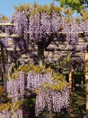 亀戸天神の藤の花④