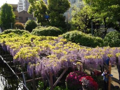 亀戸天神の藤の花②