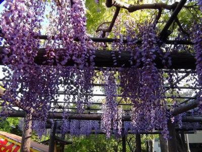 亀戸天神の藤の花⑧