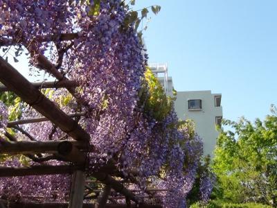 亀戸天神の藤の花⑦