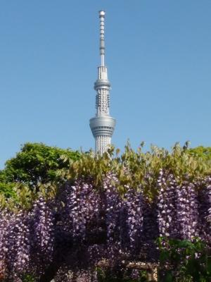 亀戸天神の藤の花⑥