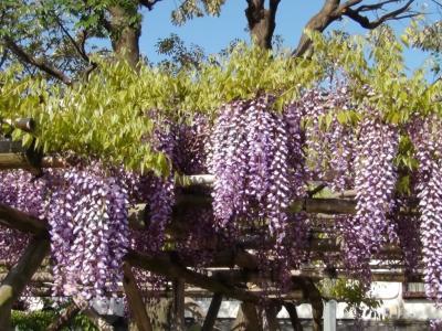 亀戸天神の藤の花⑤
