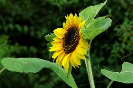 画像花向日葵