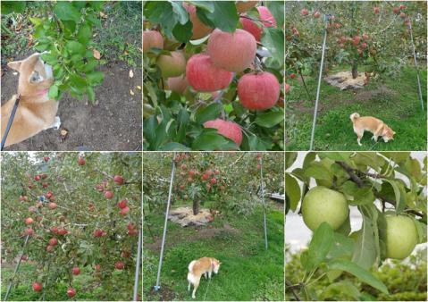 フローラルガーデン小布施のりんご畑