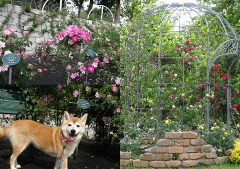 2012、鶴見緑地のバラ園4