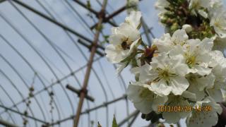 蜜蜂のケツ