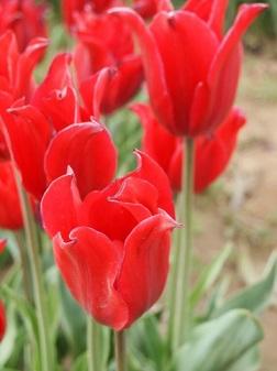 赤チューリップ 70