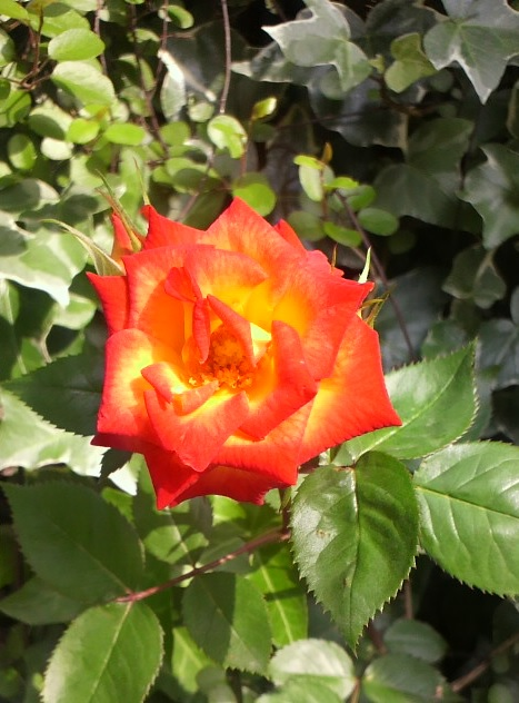 バラ 赤黄