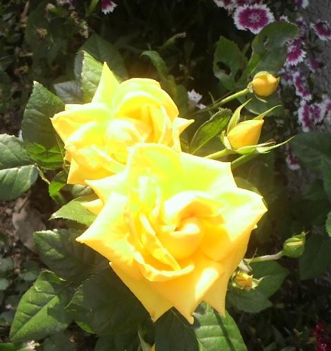 黄バラ522