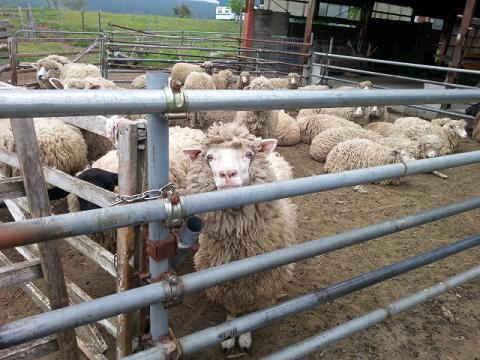 羊さんだよ