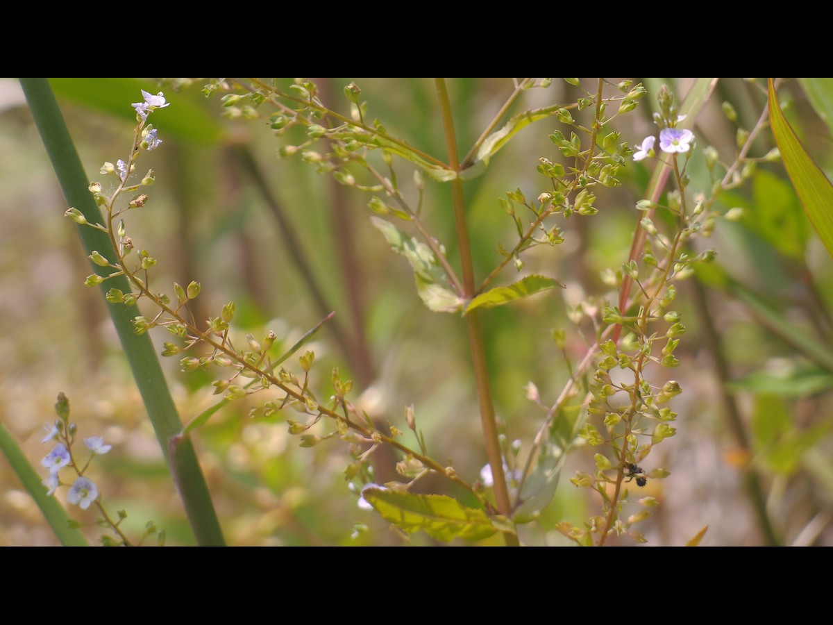 ホナガカワヂシャ 後期の花序