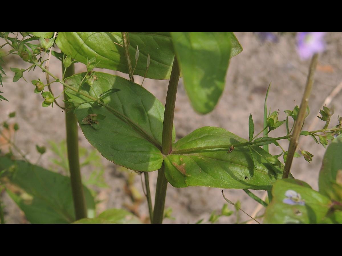 オオカワヂシャ 葉と茎