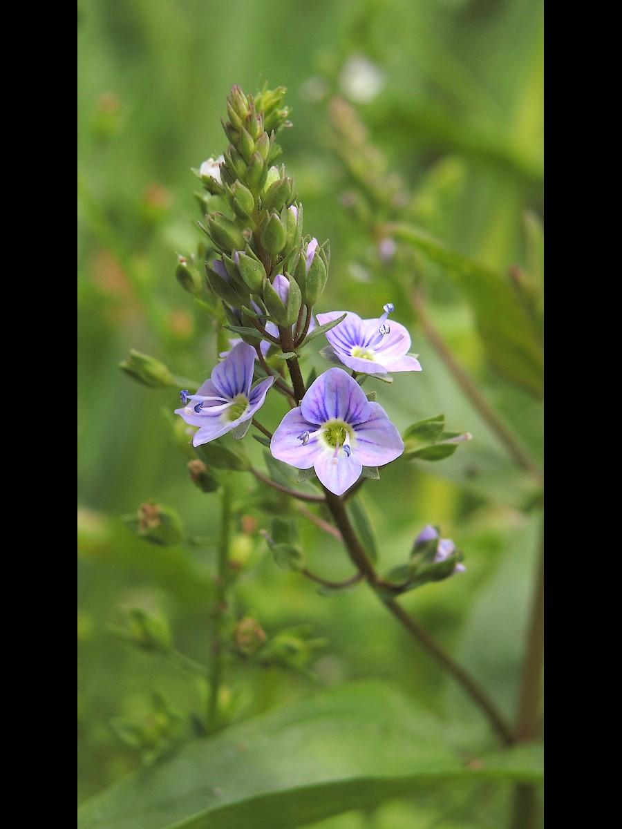 オオカワヂシャ 花序と花