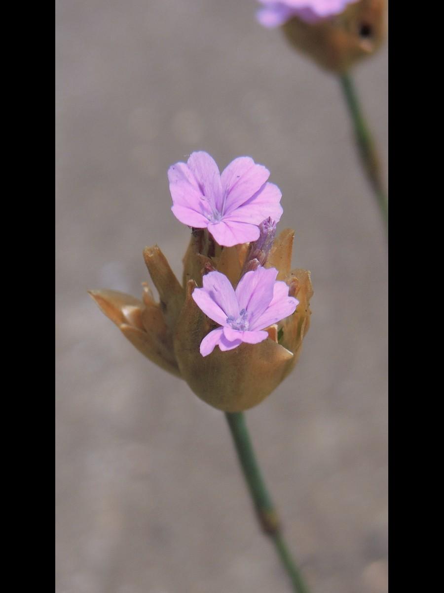 ミチバタナデシコ 花