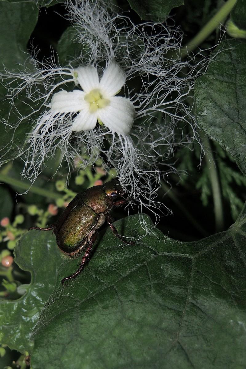 カラスウリ 虫 アオドウガネ